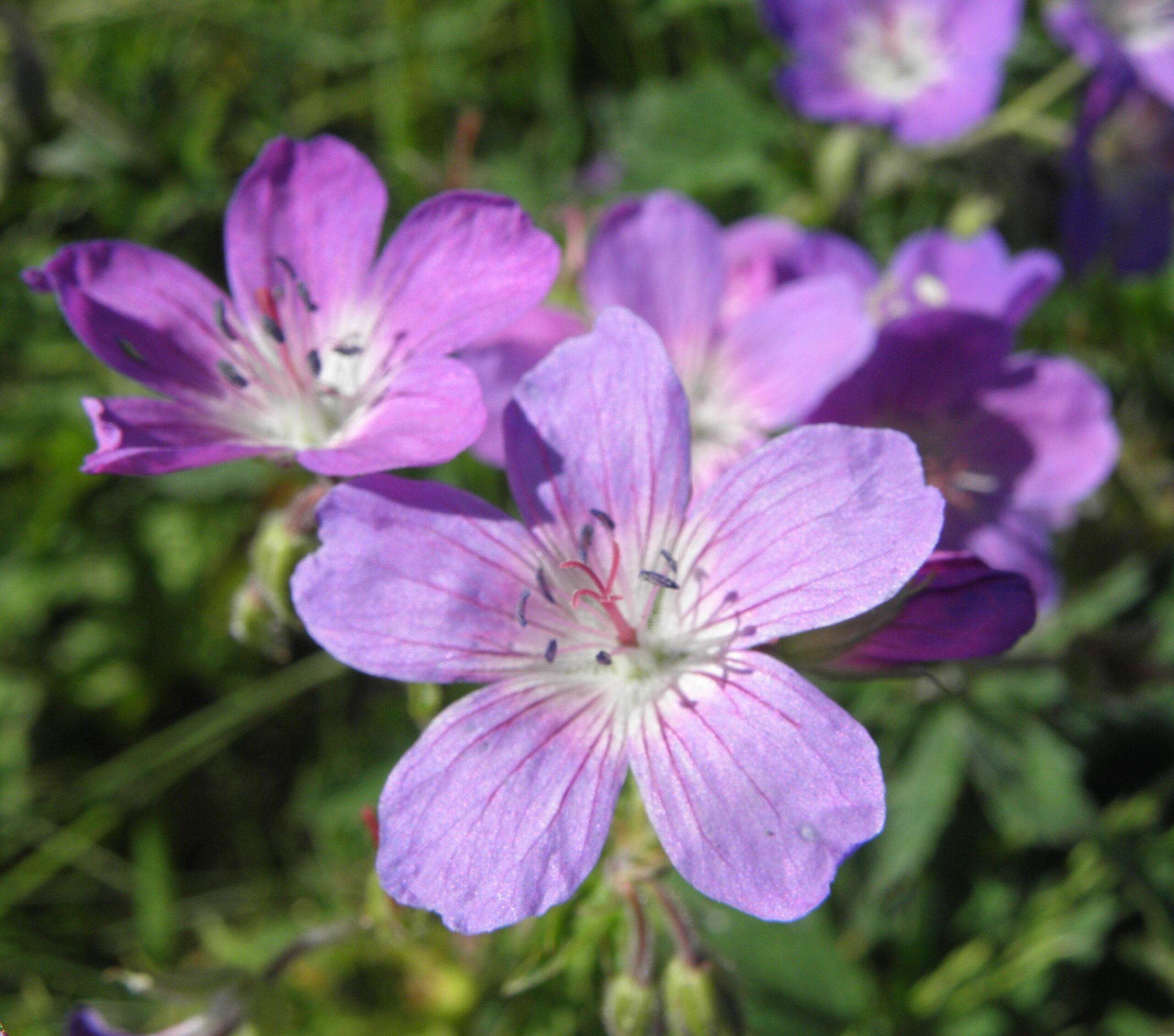 violette Blüten des Wiesenstorchschnabel. Das Fruchtblatt der Blüte erinnert an den langen Schnabel eines torches und gibt der Pflanze ihren Namen