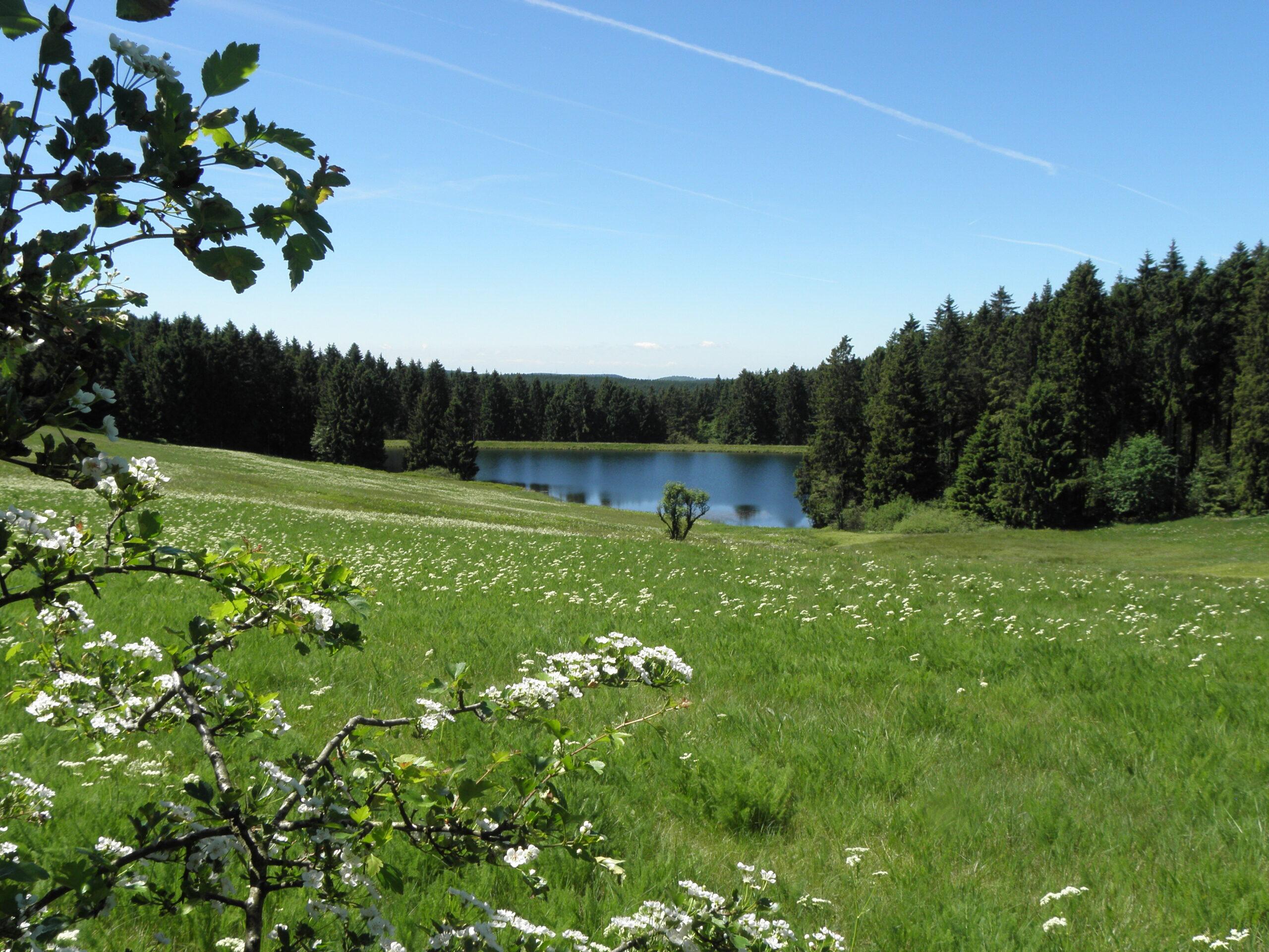 Im Vordergrund ist ein blühender weißdorn am Rand einer blühenden Bergwiese. Der Blick geht über die Wiese hinweg bergab zu einem Teich, der inmitten des Harzer Fichten waldes liegt
